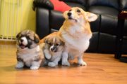 Welsh Corgi Pembroke Boy And Girl For Sale