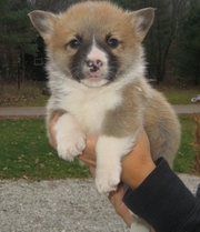 Pembroke Welsh Corgi Puppies