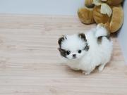 intelligent teacup Pomeranian for sale.excellent