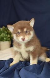 VDGDHZS checked friendly,  and sociable Pomsky For Sale 07031957695